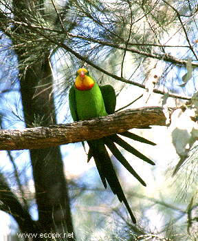 The rare and beautiful Superb Parrot lives in the woodlands surrounding Lake Cowal.