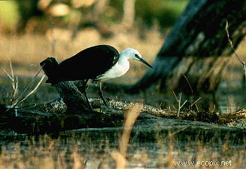 White-necked or Pacific Heron hunts in old-growth river red gum flooded forest.