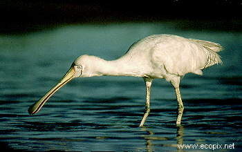 Yellow-billed Spoonbill catches prey by feel in its special bill.