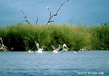 Healthy lignum, waterbird nesting habitat, Lake Cowal.