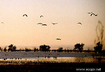 Waterbirds fly at dusk, Lake Cowal, NSW, Australia.